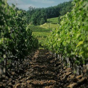 Vignes travaillées - Chateau la Croix du Merle Saint Emilion grand cru